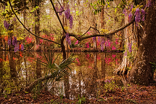 Wisteria Daydream  - Charleston