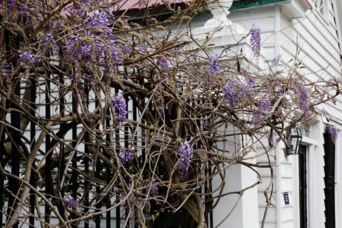 Wisteria - Charleston South, Carolina