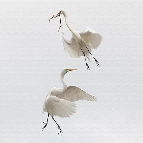 Great Egrets – St Augustine, Florida
