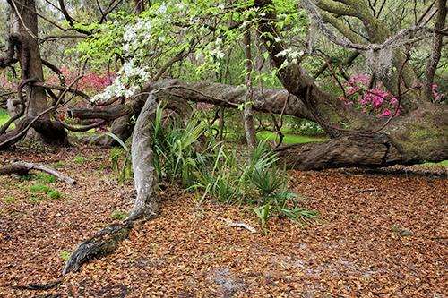 Fallen Live Oak - Charleston, South Carolina