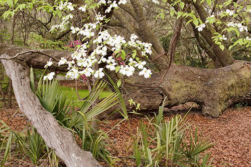 Fallen Live Oak - landscape Cropping