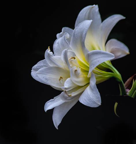Lilies by Jim Robertson