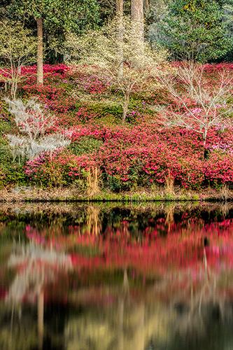 Charleston Spring Azaleas - Vertical
