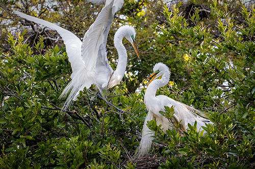 Nesting Egrets Florida Rookeries