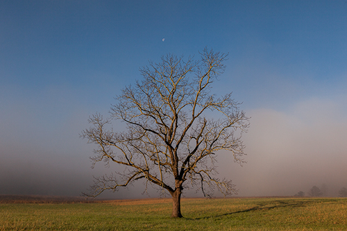Cades Cove tree in the morning fog processed using Topaz Clarity