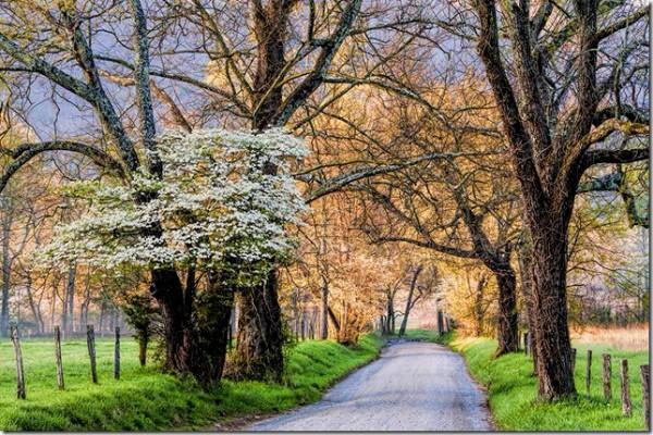 Spring Dogwoods in Sparks Lane