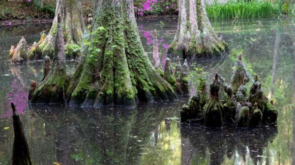Cyprus swamp, Charleston