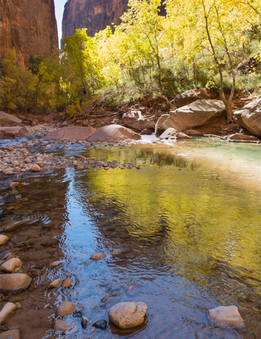 Cottonwood reflection on the Virgin River in Zion