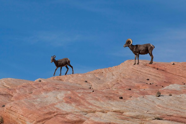 Bighorn Sheep of the Southwest