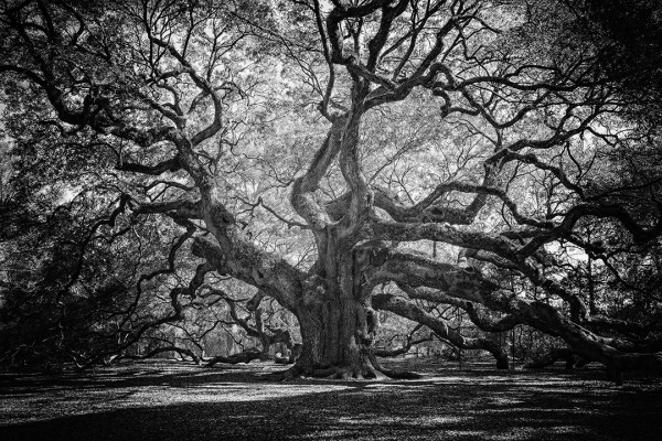 Angle Oak- The Oldest tree east of the Mississippi