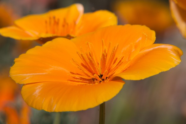 Unprocessed file of Spring Poppies