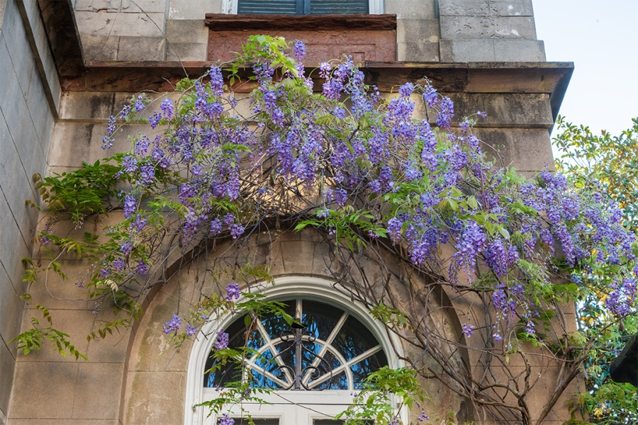 Wisteria Window - Battery Park, Charleston