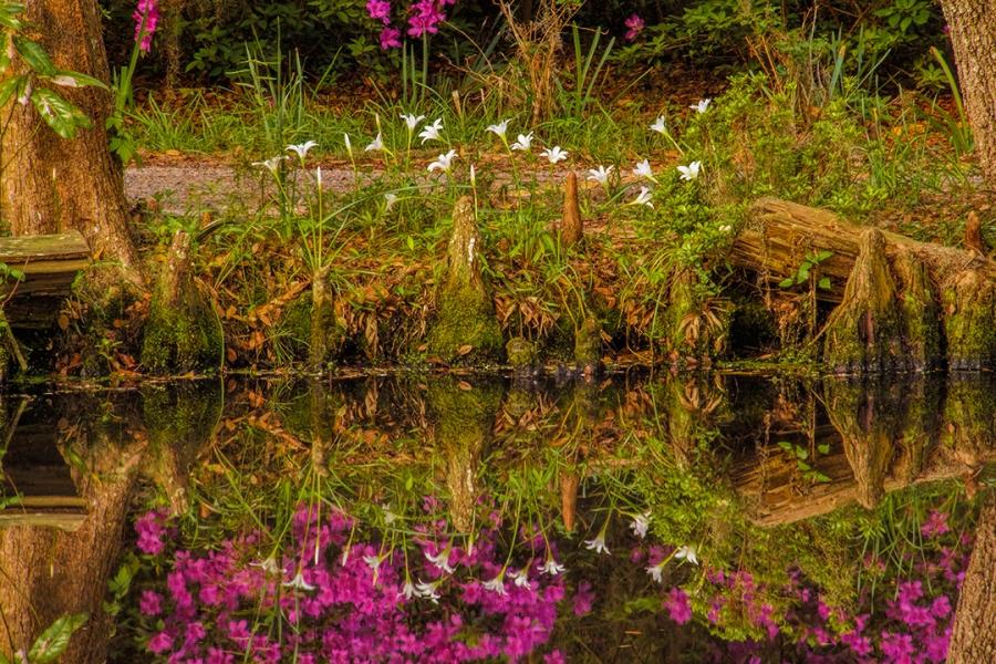Charleston Lilies